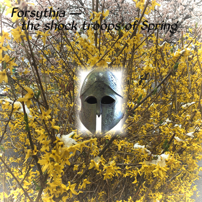 Forsythia — the shock troops of Spring